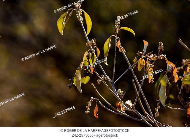 Raisin bush (Grewia flava or Grewia hermannioides). Haina Kalahari Lodge. Botswana