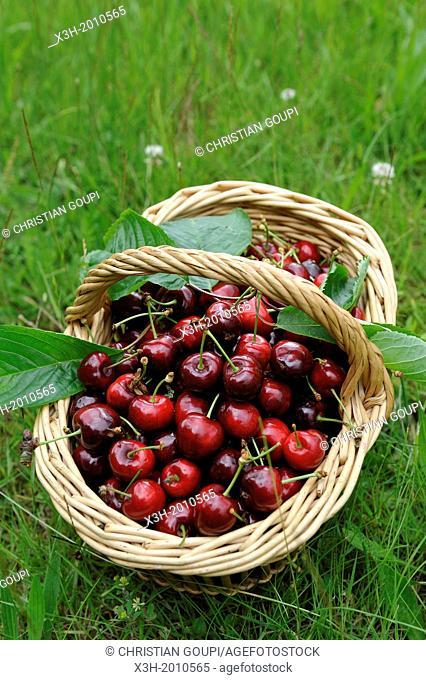 panier de cerises,departement Eure et Loir,region Centre,France,Europe/basket of cherries,Eure et Loir department, region Centre,France,Europe