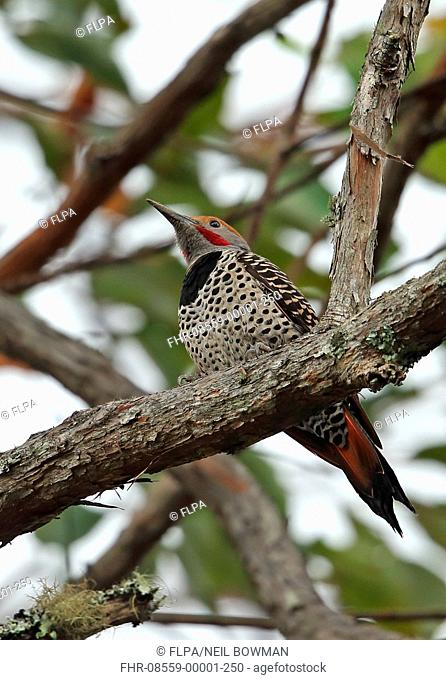 Guatemalan Flicker (Colaptes mexicanoides) adult male, perched on branch, Picacho N.P., Honduras, February