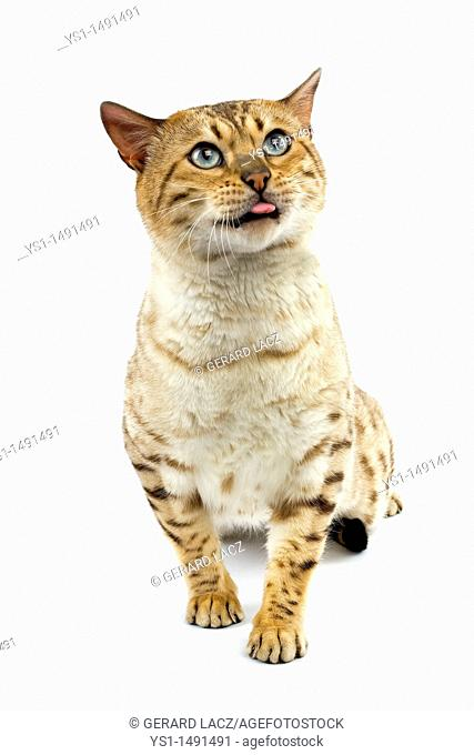 Seal Mink Tabby Bengal Domestic Cat, Male sitting against White Background