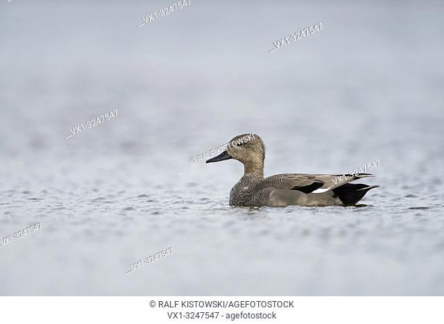 Gadwall Duck / Schnatterente ( Anas strepera ) male, drake in breeding dress, swimming on open water, nice side view