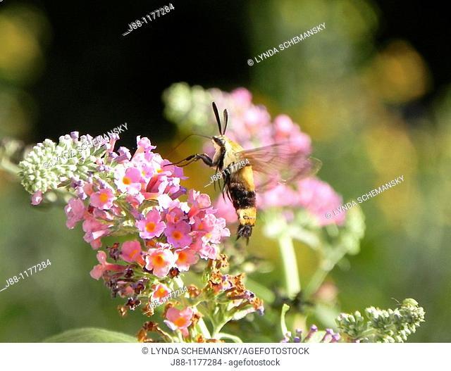 Hummingbird clearwing moth, Hemaris thysbe  on butterfly bush, Buddleia sp