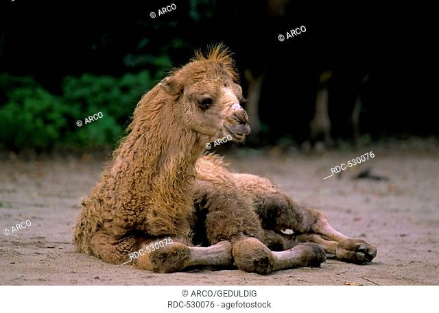 Bactrian camel (Camelus ferus)