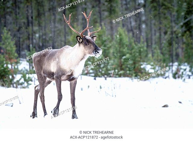 Rangifer tarandus caribou - Woodland Caribou, Central British Columbia, Canada