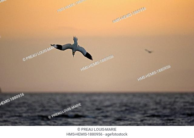 France, Cotes d'Armor, Sept Iles, Perros Guirec, Northern Gannet (Morus bassanus)