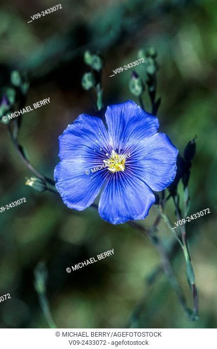 Blue flax (Linum lewisii), Eastern Sierras, California, USA
