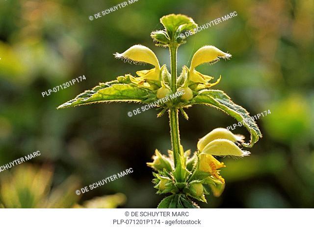 Yellow archangel Lamium galeobdolon, Belgium