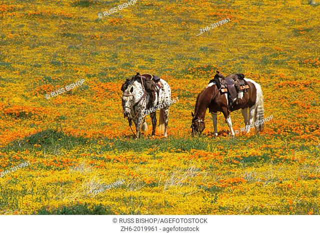 Horses in a field of California Poppies and Goldfields, Antelope Valley, California USA
