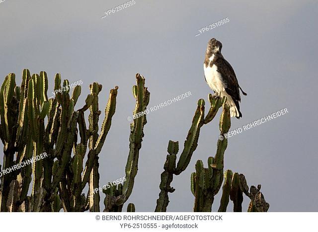 Black-chested snake eagle (Circaetus pectoralis) perched on euphorbia, Masai Mara, Kenya