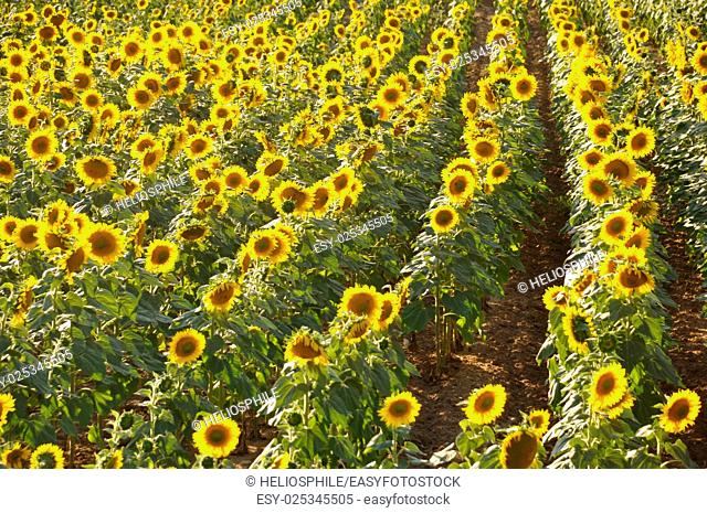 sun flower field in Dordogne