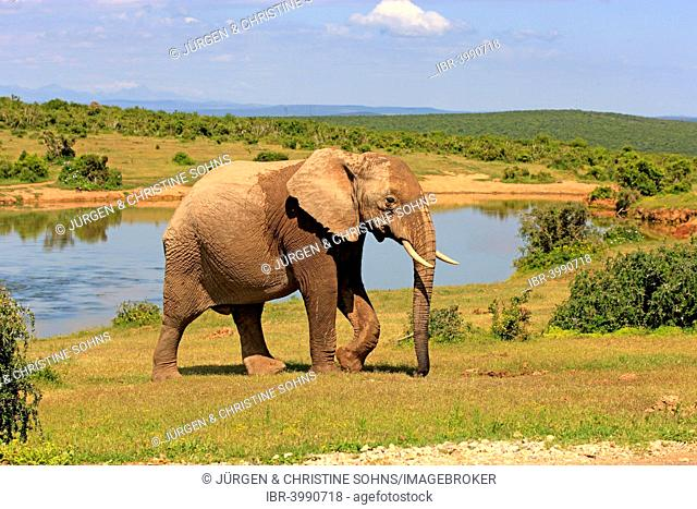 African Elephant (Loxodonta africana), adult, at a waterhole, Addo Elephant National Park, Eastern Cape, South Africa