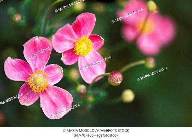 Pink Japanese Anemones. Anemone hupehensis. September 2006, Maryland, USA