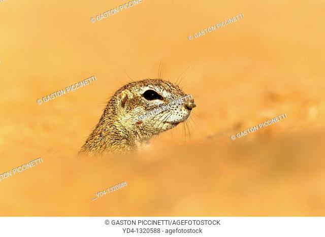 Ground Squirrel Xerus inauris, lending out of its burrow, Kgalagadi Transfrontier Park, Kalahari desert, South Africa