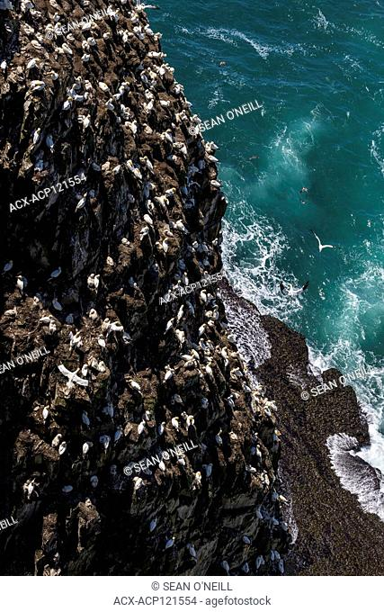 Cape St. Mary's Ecological reserve in the Summer, Northern gannets, kittiwakes, and mures, seabird breeding colony, Newfoundland, Canada