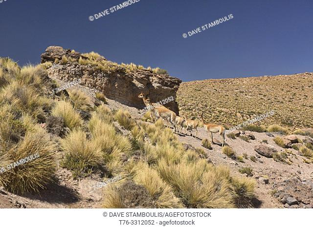 Vicuñas on the altiplano, Atacama Desert, Chile