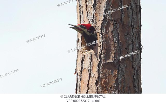 An adult male Pileated Woodpecker (Dryocopus pileatus) looks out from its nest hole high up in the trunk of a long leaf pine tree before flying away