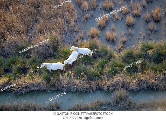 Aerial view picture. Horses in the Albufera Natural Park, Alcudia, Mallorca, Balearic Island, Spain