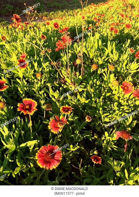 Gaillardia or Indian Blanket Flower growing wild, Jacksonville Beach, Florida, USA