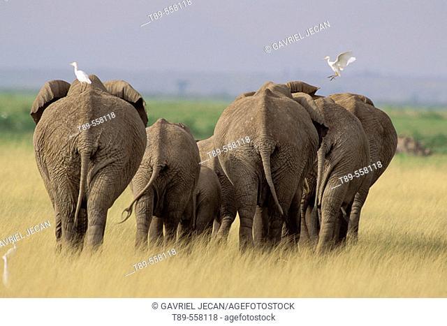 AFRICA, Kenya, Amboseli , African Elephants - Loxodonta africana & cattle egrets