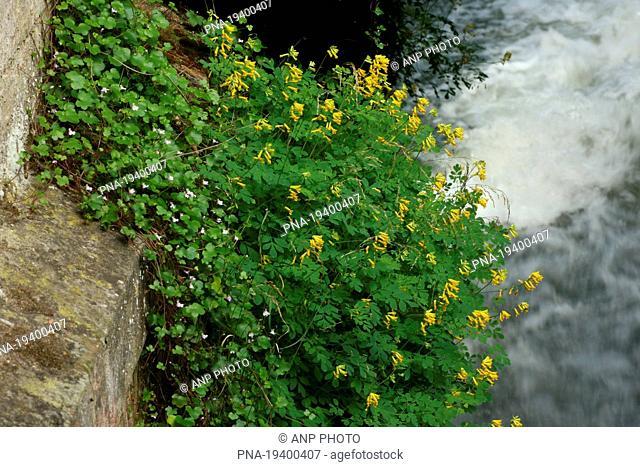 Yellow Corydalis Pseudofumaria lutea - Geuldal, De Geulhemermolen, Geulhem, Limburg, The Netherlands, Holland, Europe