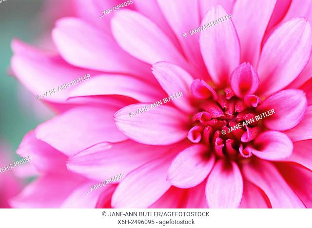 charming pink dahlia ''gallery art nouveau'' beautiful long flowering throughout Summer