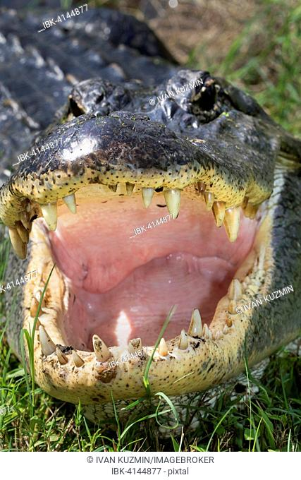 Open mouth and teeth of American alligator (Alligator mississippiensis), Brazos Bend State Park, Needville, Texas, USA
