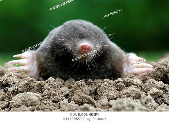 European Mole, Talpa europaea, fauna, animal, anim
