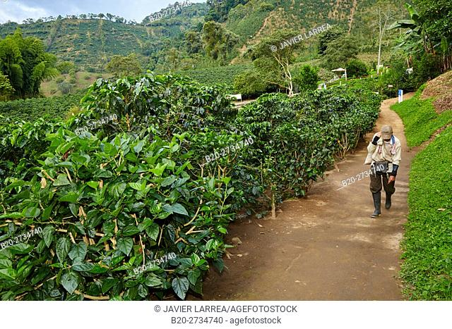 Hacienda San Alberto, Cafetal, Coffee plantations, Coffee Cultural Landscape, Buenavista, Quindio, Colombia, South America