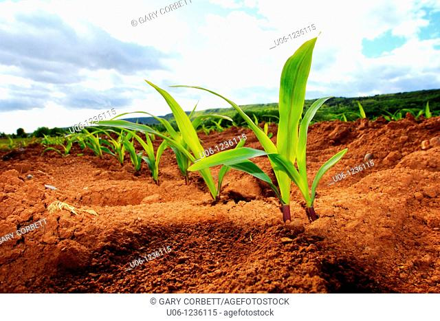 a crop of young maize or corn plants growing in a field