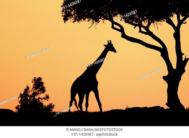 The tallest animal in the world which browses on tree leaves and twigs  At sunrise the silouhette of the giraffe against the red and orange sky looks very...