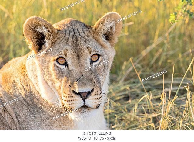 Botswana, Kgalagadi Transfrontier Park, Lioness, Panthera leo