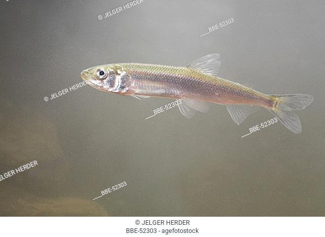 photo of a European smelt underwater