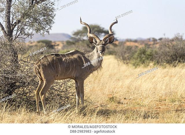 Africa, Southern Africa, South African Republic, Kalahari Desert, Greater kudu (Tragelaphus strepsiceros), adult male