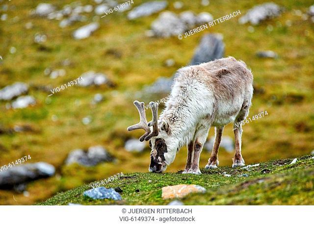 Svalbard reindeer (Rangifer tarandus platyrhynchus), Svalbard or Spitsbergen, Europe - , Svalbard, 27/06/2018
