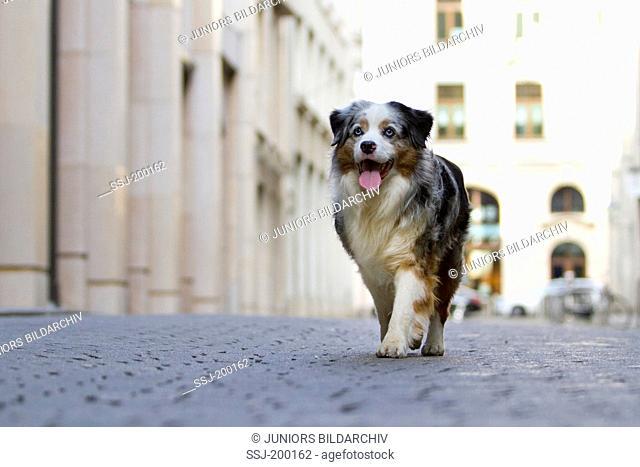 Miniature Australian Shepherd (blue merle). Adult dog walking on a square in the city of Leipzig, Sachsen, Germany