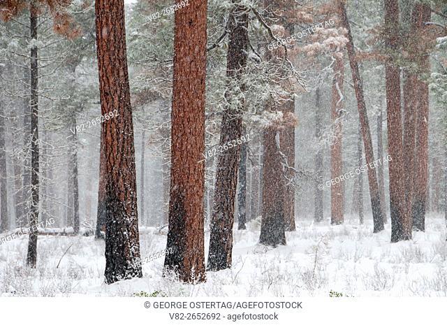 Ponderosa pine (Pinus ponderosa), Metolius Wild and Scenic River, Deschutes National Forest, Oregon