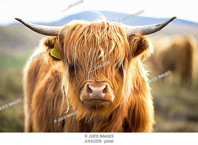 Close up of Highland cow on scottish moor
