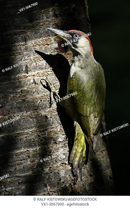 Green Woodpecker ( Picus viridis ), perched on a tree trunk, in typical pose, wildlife, Europe