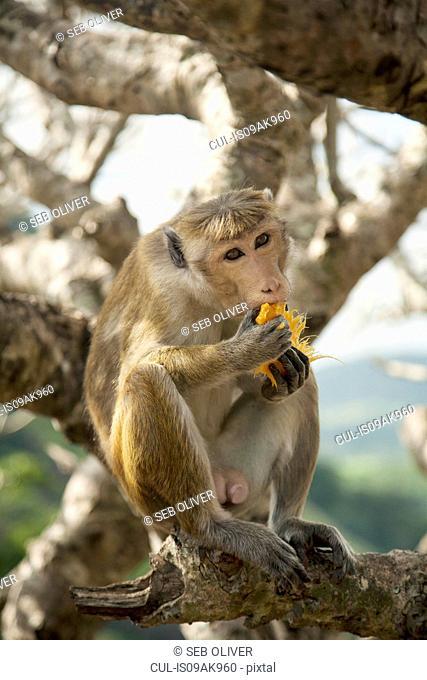 Toque macaque (Macaca Sinica) monkey eating fruit, Sri Lanka