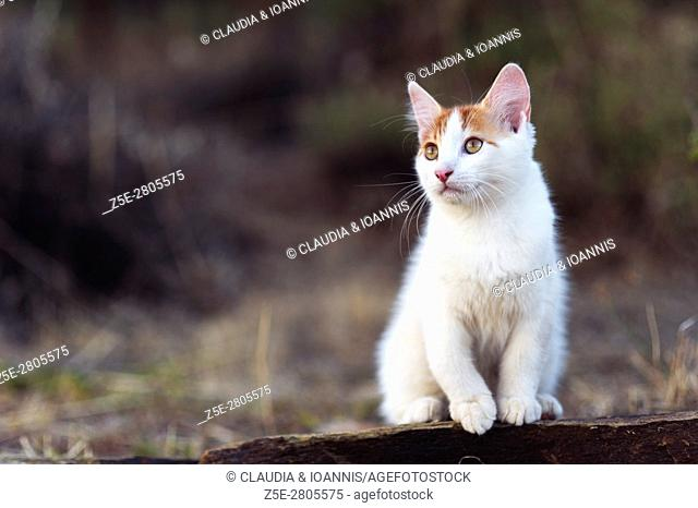 Portrait of a white and red kitten sitting on a wall in the garden