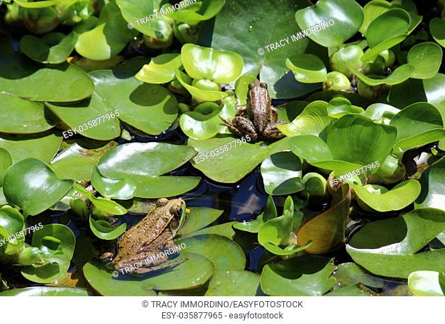 Two American Bullfrogs, Lithobates catesbeianus, sitting on lily pads in a backyard pond in Wisconsin, USA