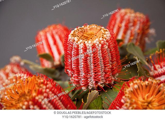 Tropical flowers, Protea, Hawaii