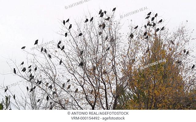 birds on a tree. Almansa. Albacete province