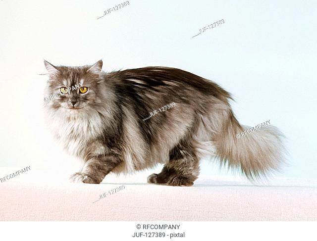 Norwegian forest cat - standing - cut out
