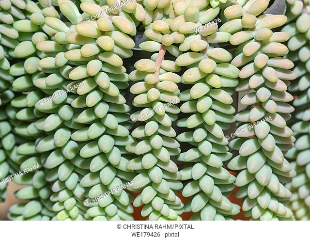Succulent cactus plant, Sedum burrito, full frame background texture. Spring garden series, Mallorca, Spain