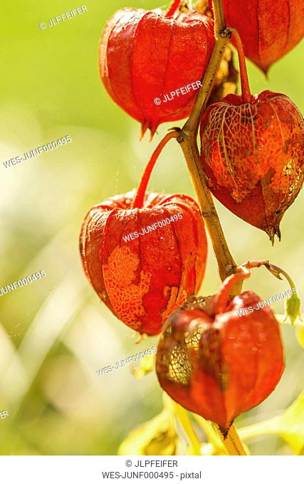 Chinese lantern in autumn, close-up