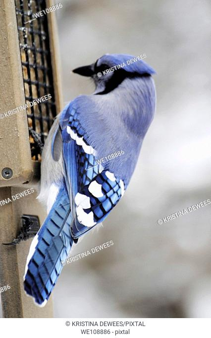The back of a Blue Jay at a bird feeder