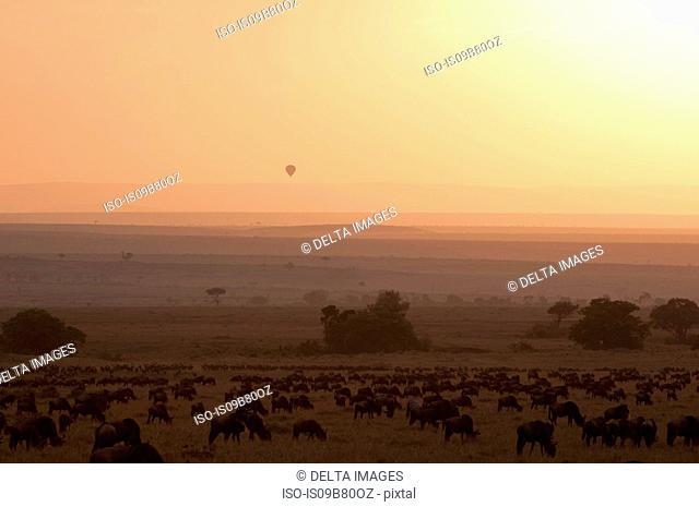 Wildebeest (Connochaetes taurinus) at sunset, Masai Mara, Kenya