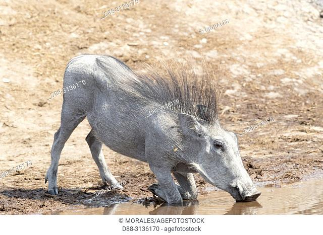 Africa, Southern Africa, Bostwana, Savuti National Park, Warthog (Phacochoerus africanus), drinking on his knees