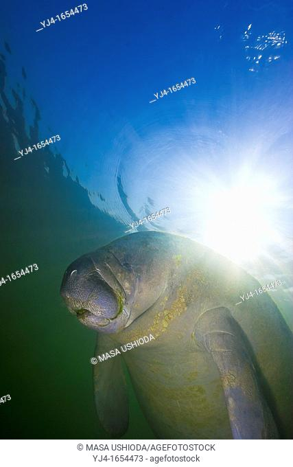 Florida manatee, Trichechus manatus latirostris, threatened species, Kings Bay, Crystal River, Florida, Gulf of Mexico, Caribbean Sea, Atlantic Ocean